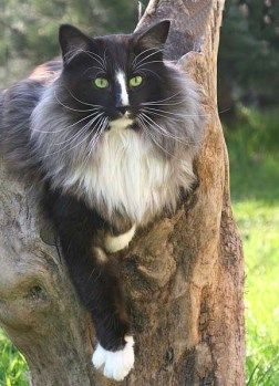 Norwegian Forest Cat - black smoke