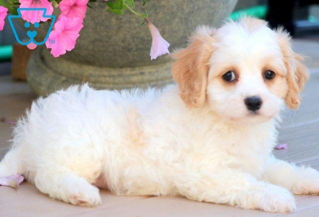 Annie Cavachon Puppy For Sale Keystone Puppies In 2020 Cavachon Puppies Cavachon Puppies