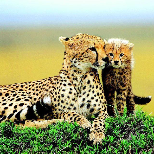 #Гепард. Это #самое #красивое #животное проживает в ареале 13 государств: #Индия, #Афганистан, #Россия, #Китай, #Непал, #Казахстан, #Монголия, #Пакистан, #Узбекистан, #Бутан, #Бирма, #Таджикистан, #Киргизстан. У ирбиса достаточно большая #территория #обитания в мире, что дает #возможность для размножения и продолжения рода такого прекрасного представителя фауны. Шерсть у снежного барса светло-серая, но в контрасте с черными пятнами она выглядит практически белой. Такая #окраска – это…