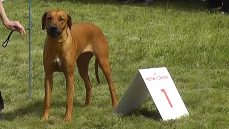 Miskolc Marathon Dog Show 2013.04.27. Rodesian Ridgeback