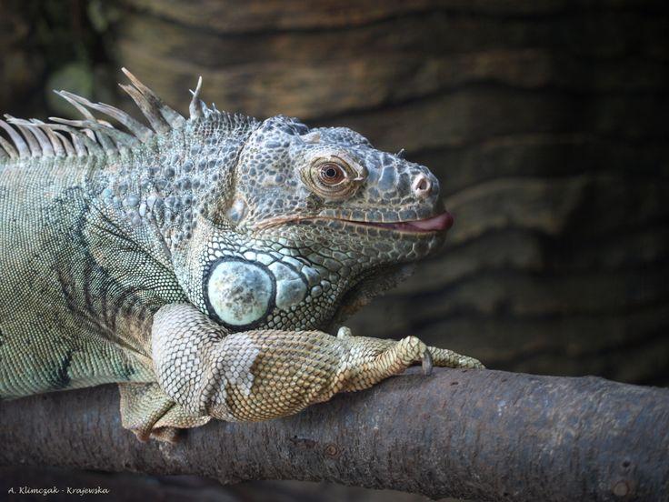 Legwan zielony - Iguana iguana