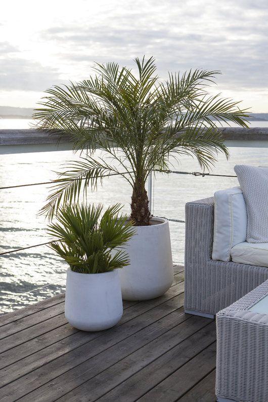 Terrassepalmer er stilig i Lyngør pottene i fiberclay.