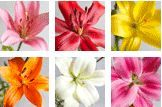 Colour options from liliesinatube flower delivery serivce
