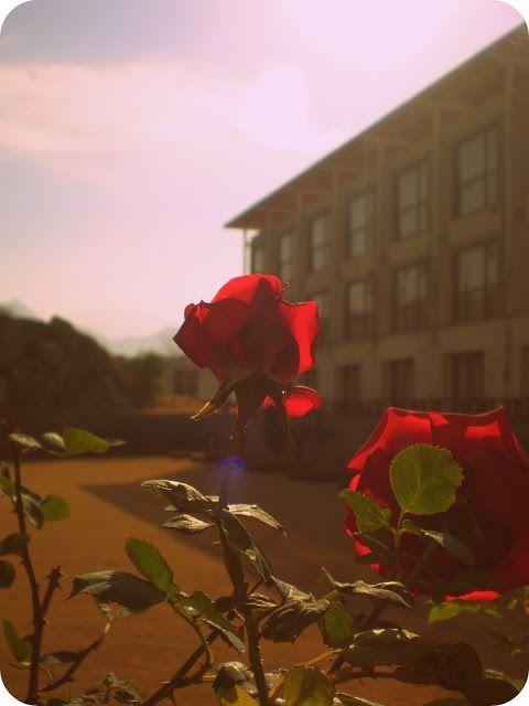 Beautiful Wild Rose #roses #park #rose #beauty #Pakistan #Asia #hotels #flowers #flora #photography #photos #nature