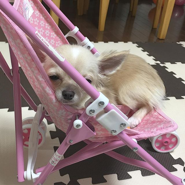 もなさん。これは人形用のベビーカーですよ😂  #instadog#dogstagram#chihuahua#チワワ#ロングコートチワワ#ふわもこ部#dog#ベビーカー#寝落ち#naptime#ig_japan#愛犬#成長記録