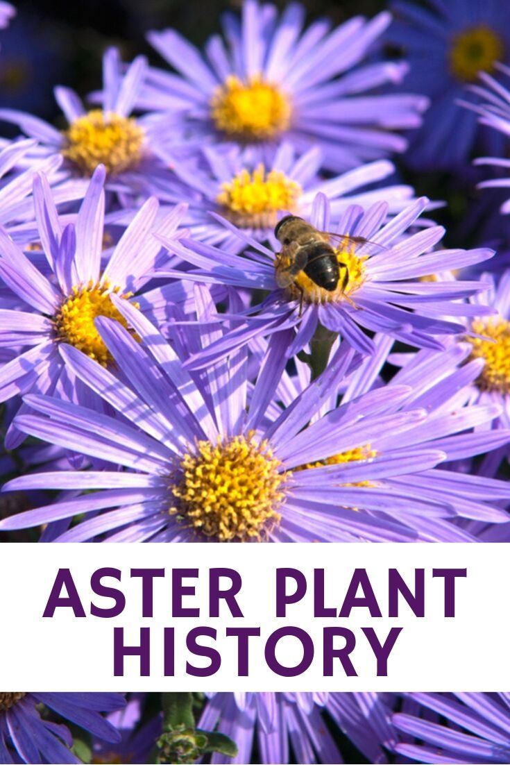 Aster Plant History Learn About The Origin Of Aster Flowers Gardening Know How S Blog Aster Flower Plants Aster