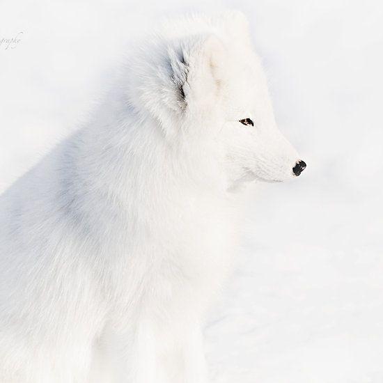 Mr White - Arctic Fox