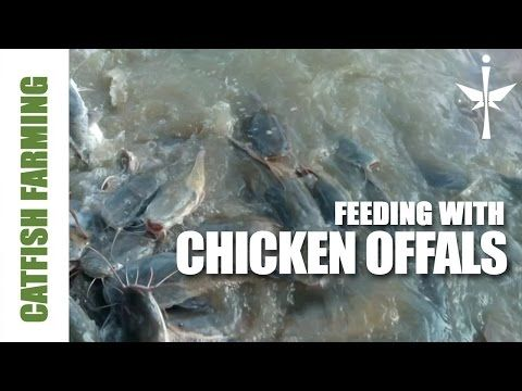 Feeding Catfish with Chicken Offals, Great Fish Protein Booster. Must Watch!! - YouTube