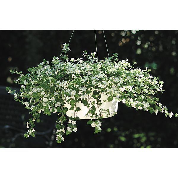 http://www.graines-baumaux.fr/167929-bacopa-snowtopia-white.html