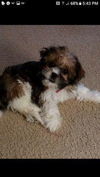 Shorkie Tzu puppy for sale in SAINT MARYS, WV. ADN-28946 on PuppyFinder.com Gender: Female. Age: 5 Months Old