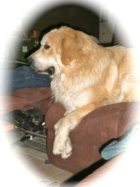 Big couch big dog great pyranese our sweetheart for Big dog furniture