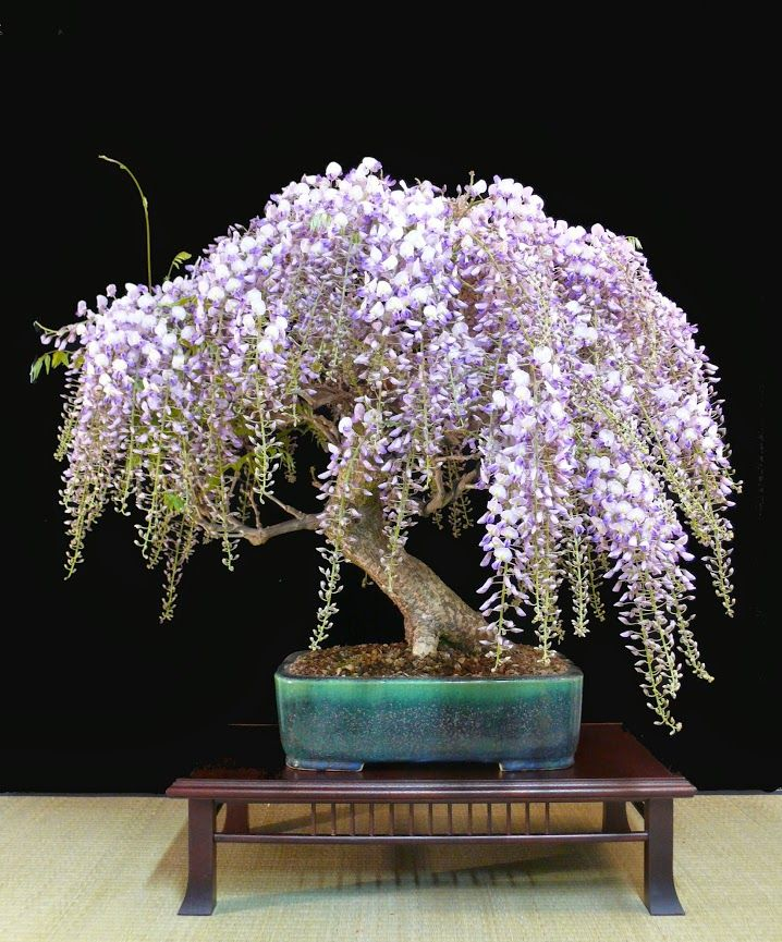 A stunning #Wisteria #Bonsai tree that was photographed yesterday by Heike van Gunst. It just exploded with flowers.    http://www.roanokemyhomesweethome.com