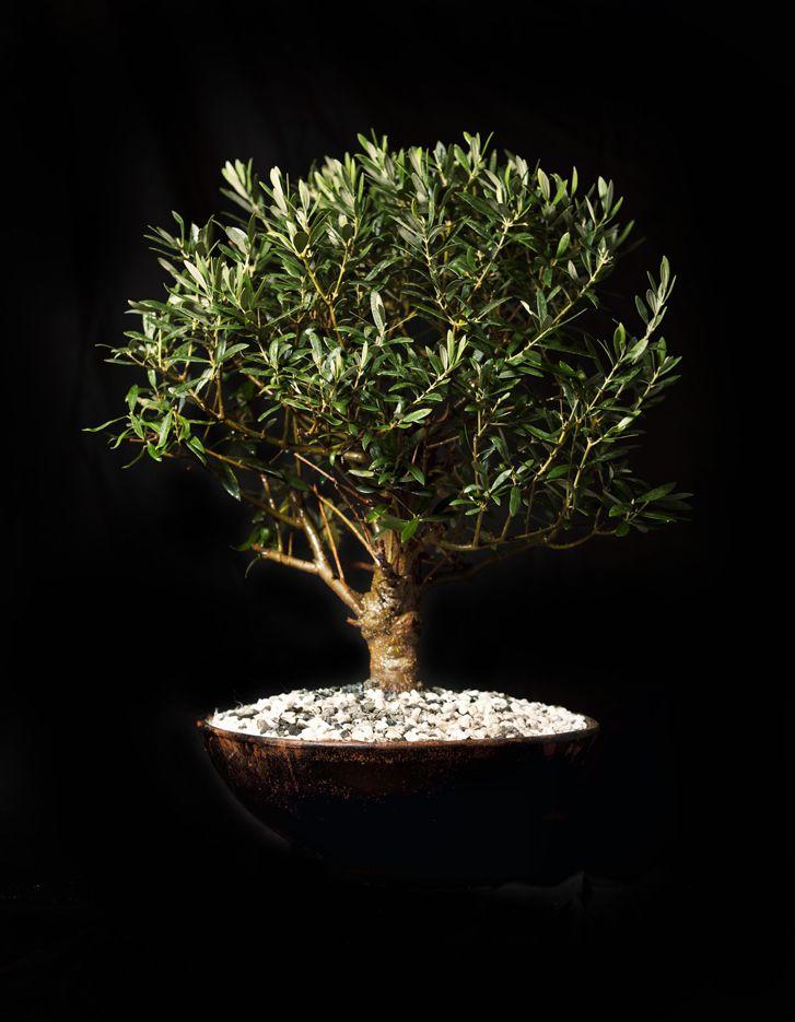 Bonzai Olive Tree By Pierros La Couture Des Fleurs.