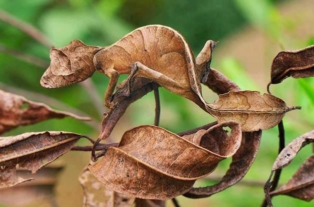 Master of disguise! Uroplatus phantasticus is a species of gecko indigenous to t