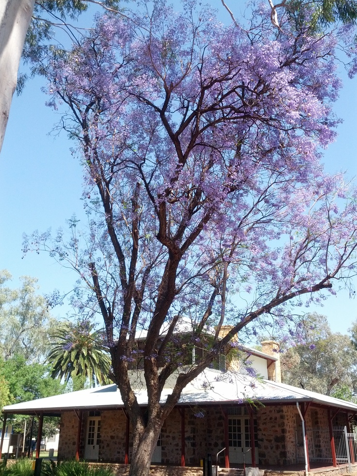 Alice Springs Todd Mall - Jacarandas in bloom