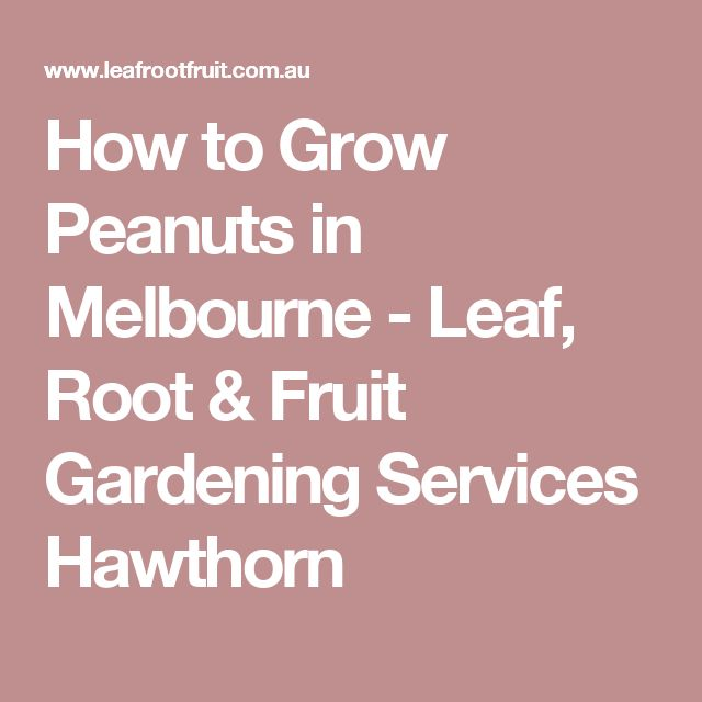 How to Grow Peanuts in Melbourne - Leaf, Root & Fruit Gardening Services Hawthorn