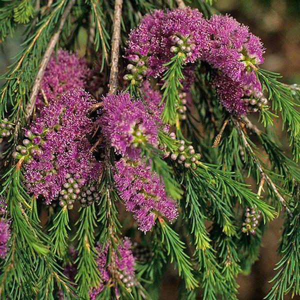 MELALEUCA diosmatifolia Rosey Honey Myrtle
