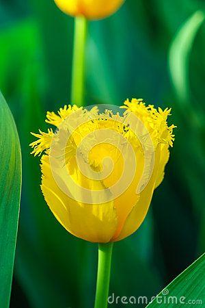 The yellow tulip in the botanic garden