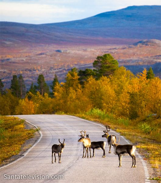 Reindeer on the road, Northern Finland