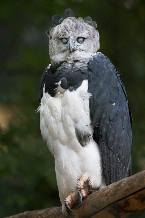Assustadora harpia. Esta harpia (Harpia harpyja), sabe como olhar assustadoramente. É também chamada gavião-real, gavião-de-penacho, uiruuetê, uiraçu, uraçu, cutucurim e uiraçu-verdadeiro, sendo a mais pesada e uma das maiores aves de rapina do mundo, com envergadura de 2,5 m e peso de até 10 kg.  Fotografia: Johannes Wapelhorst em 500px.
