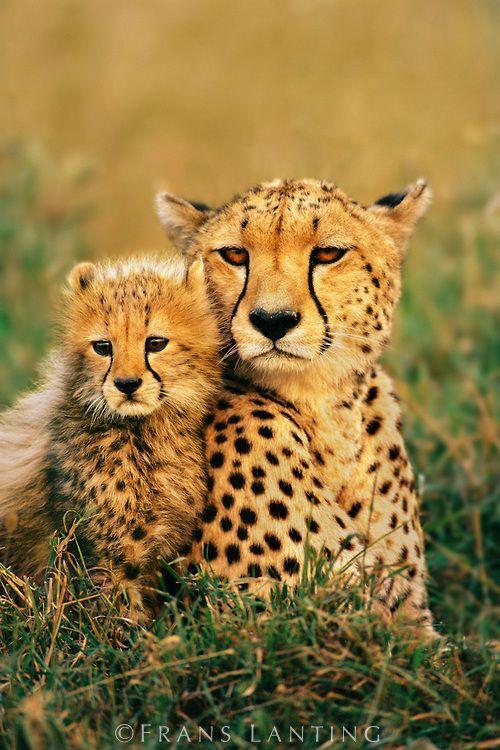 Cheetah and cub, Acinonyx jubatus, Masai Mara National Reserve, Kenya