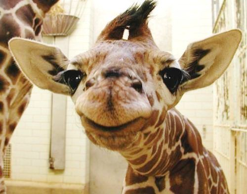 Hello there!A Kiss, Baby Giraffes, Make Me Laugh, Too Funny, Baby Animals, Smile, So Funny, Cute Babies, Adorable Animal