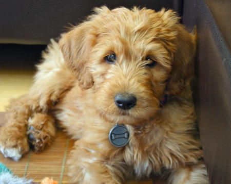 Labradoodle: Labrador Retriever, Labradoodle Puppies, Sweet, Cutest Dogs, Poodle Color Pink, Puppies Breeds, Fur Baby, Fluffy Puppies, Golden Doodles