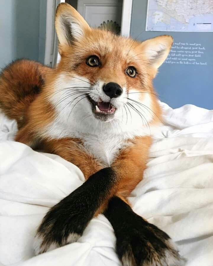 Juniper the Adorable Red Fox by juniperfoxx on Instagram