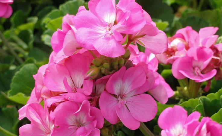 Pelargonien sind mit unterschiedlichen Blütengrößen und -farben erhältlich. Die lange Blütezeit macht robuste Sorten wie `Trend Lavender' so beliebt