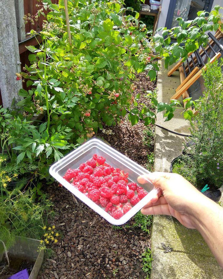 #raspberry #summer #christchurch #nz