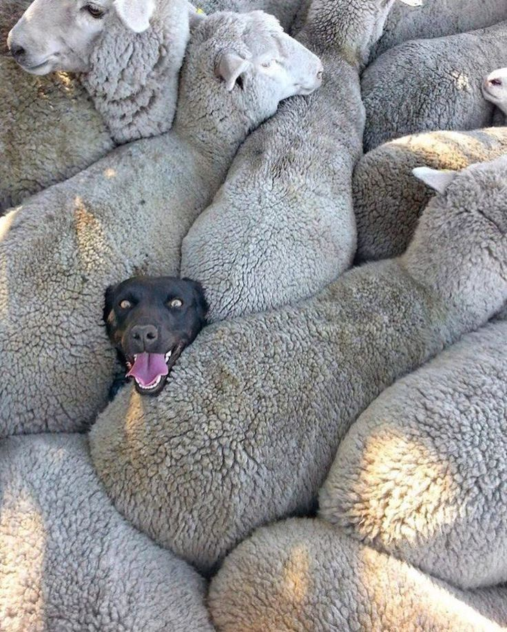 Sometimes the dog herds the sheep; and other times...