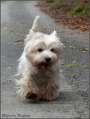 """Happy Westie! Makes me think of that old commercial: """"Kibbles  Bits, Kibbles  Bits, gonna get me more Kibbles  Bits"""".  Which, is why we got our first Westie back in 1987 ❤"""