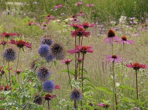 Piet Oudolf meadow planting of Echinacea and Echinops ritro (coneflower and globe thistle)
