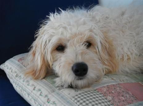 Lexie - Ontario Goldendoodle Breeder - We breed beautiful Petite and Tiny Goldendoodles
