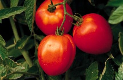 pruning tomatoes - my parents pruned their greenhouse tomatoes and taught me to do it.  It works really well and gives you much larger tomatoes.