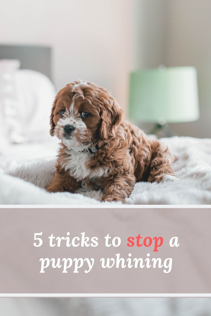 5 Tricks To Stop Your Puppy Whining Puppy Whining Puppy Whining At Night Puppies