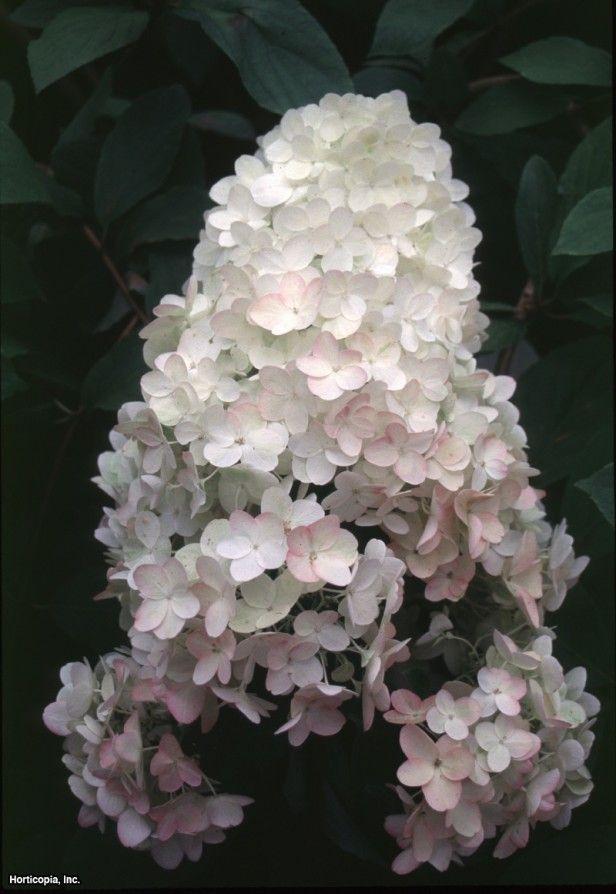 Panicle Hydrangea (Hydrangea paniculata 'Unique')