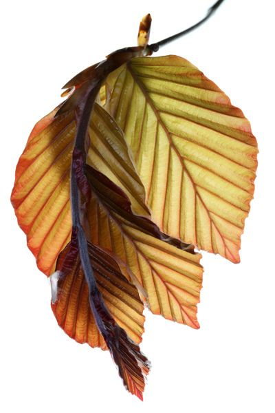 New copper beech leaves, by Brian Ross Haslam.