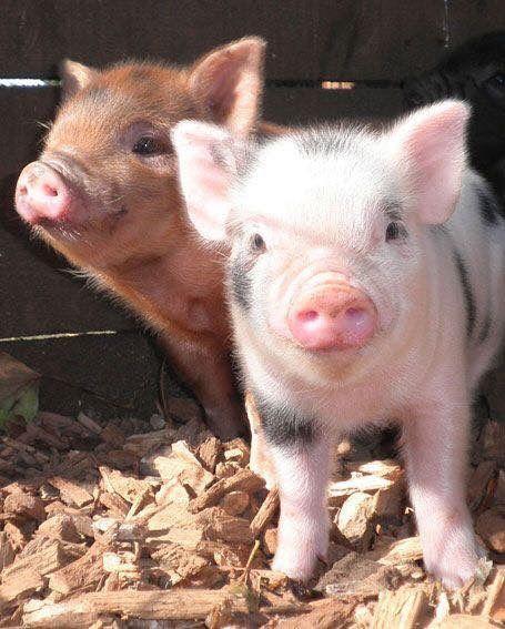 """Cute pigs.   (""""<3."""")"""