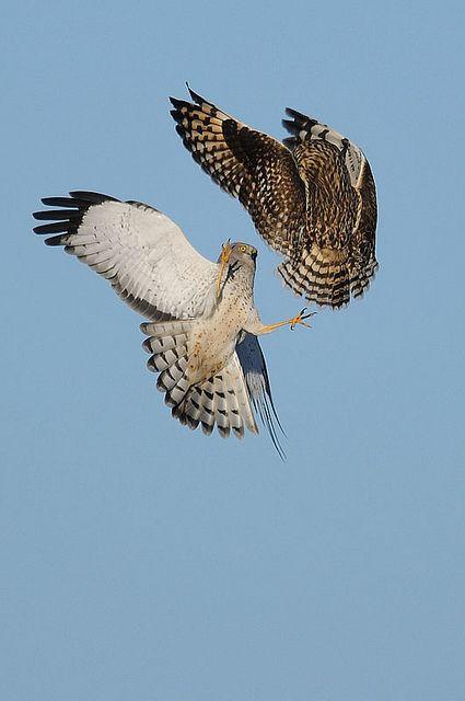 Hawk vs owl - photo#12