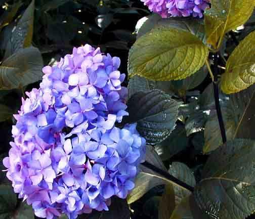 Hydrangea nigra - black stemmed, ph dependent color