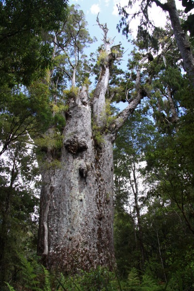 Father of the forest, 2nd largest Kauri in New Zealand...