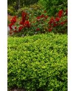 125 best Evergreens images on Pinterest Evergreen Dwarf and Dwarfism