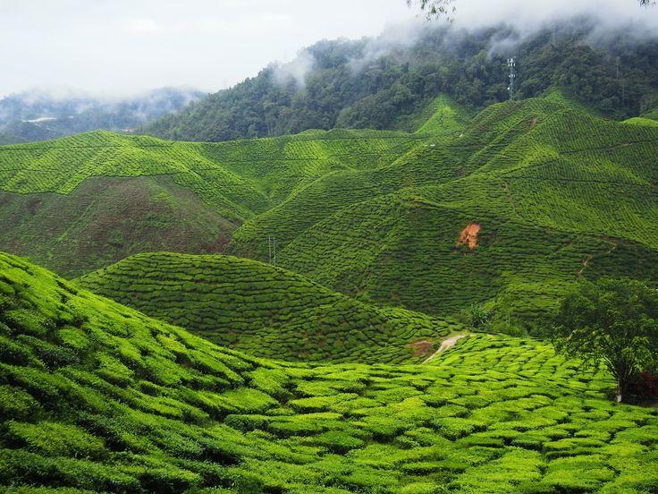 """""""Le 25 décembre 2016, le jour de noël, après 4h de route, c'était face à ces plantations de thé, au Nord de la Malaisie, que je m'étais retrouvée. Cette couleur verdoyante s'étendait à perte de vue. Nous nous sommes baladés, la température était agréable, il faisait presque frais suite à la chaleur étouffante de Kuala Lumpur.  Un cadeau dont je me souviendrai longtemps!""""  Nina, Smiling and Traveling  Cameron Highlands, Malaisie (4.4701221, 101.3302207)"""