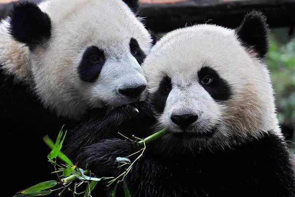 Panda Bears: