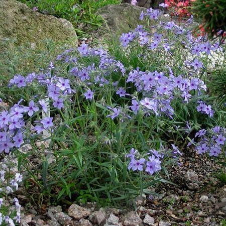 Phlox divaricata 'Laphamii' Lapham's Woodland Phlox from American ...