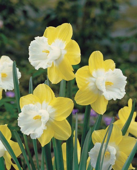 Daydream daffodil
