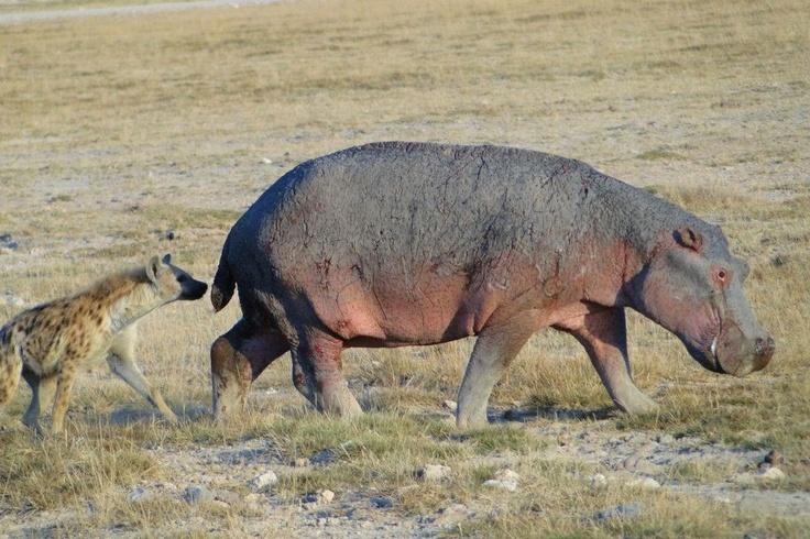 Hippopotame et hyène
