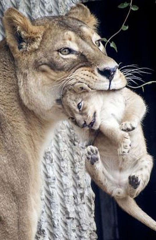 MUM`S TAXI 💖🌷💋☀🌺 #photo by Mads Nissen #lion cub cute wildlife wildness animal pet nature http://itz-my.com