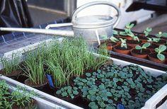 Gartentipps: Aussaatkalender Gemüse - termingerecht mit der Anzucht beginnen - http://gartensaison-gartentipps.blogspot.de/2016/01/aussaatkalender-gemuse-termingerechte-Anzucht.html